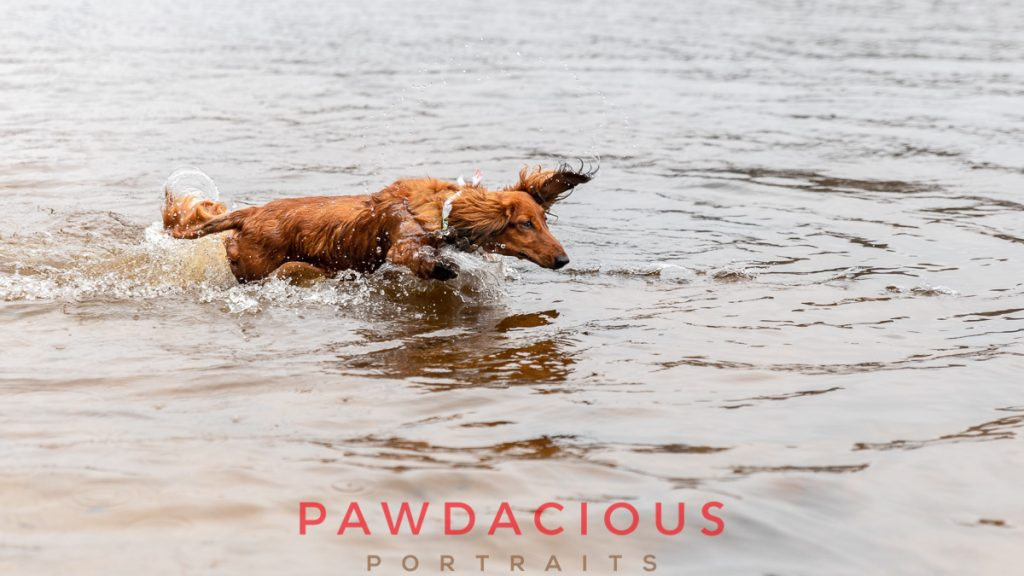 A dachshund dog splashed through the shallow water of a lake