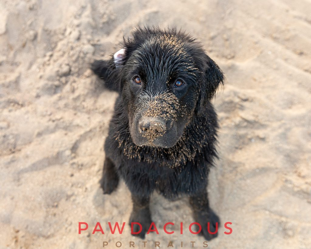 A black newfoundland puppy covered in sand on the beach