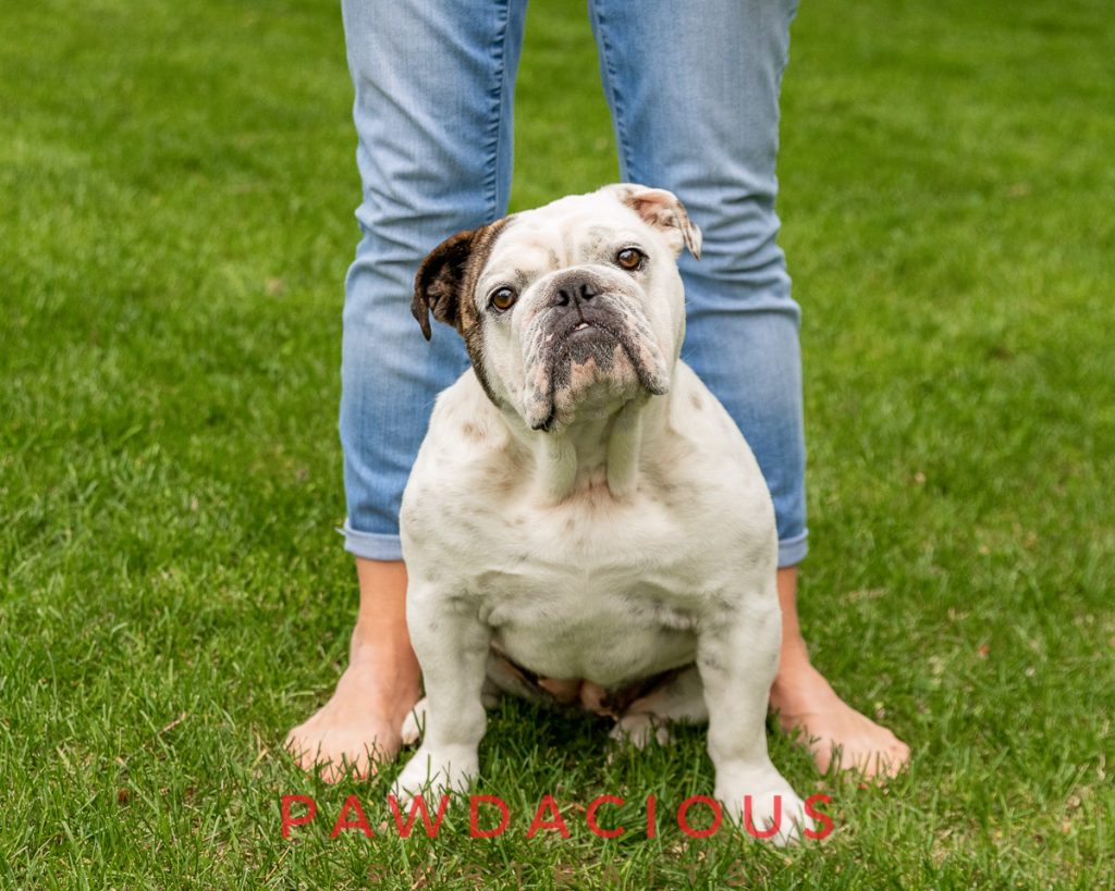 A white bulldog sitting on it's owners feet on a green lawn