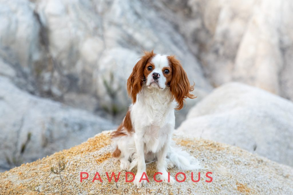 A red and white Cavalier King Charles Spaniel puppy sitting on a stony landscape