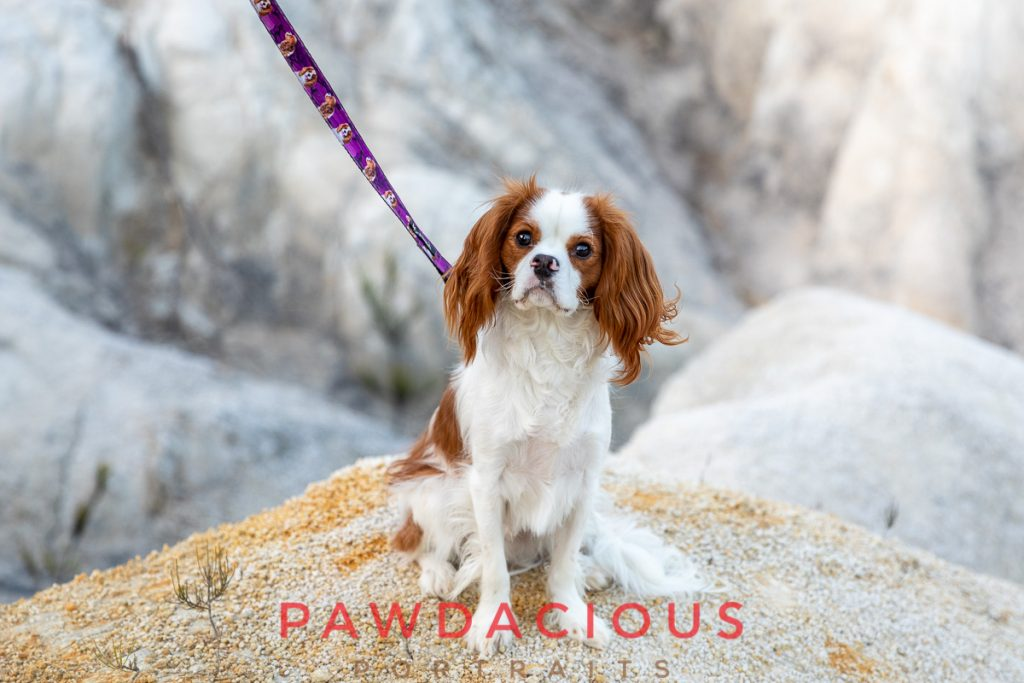 A sweet Cavalier King Charles Spaniel looks at the camera while posing on a stony landscape