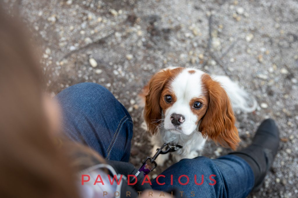 A Cavalier King Charles Spaniel looking up at it's owner