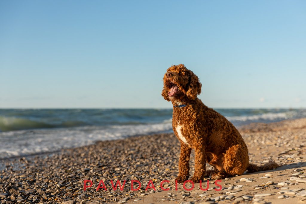 A golden doodle on a stony beach along Lake Michigan with it's mouth open in summer