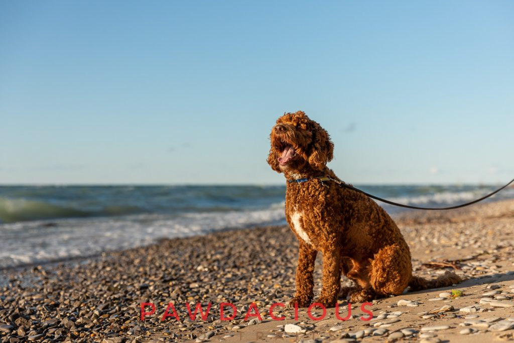A golden doodle on leash on the beach at Fisherman's State Park in Michigan