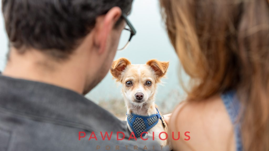 A small chihuahua mix dog sitting between it's owners and looking over their shoulders at the pet photographer
