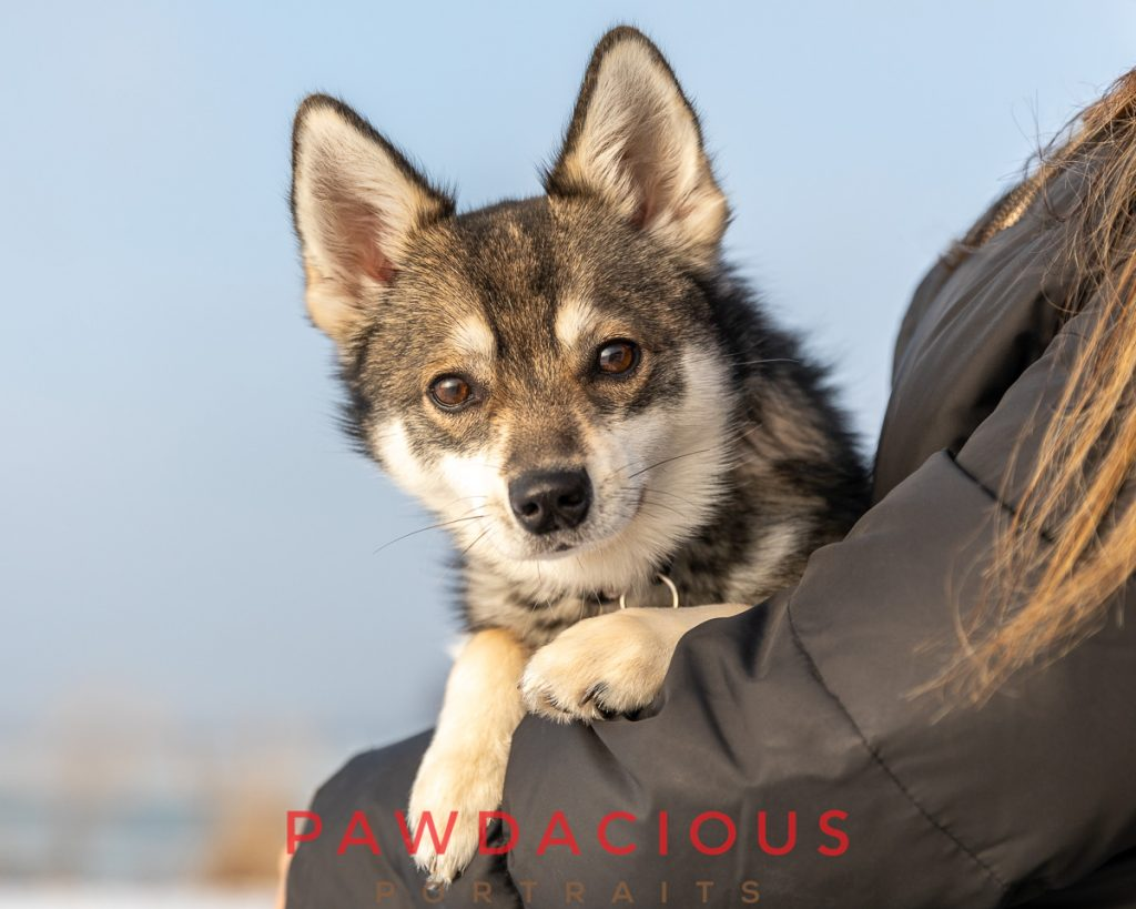 A young Klee Kai dog looks over his mom's arm during a custom pet portrait session in winter at Lake St. Clair Metropark in Michigan