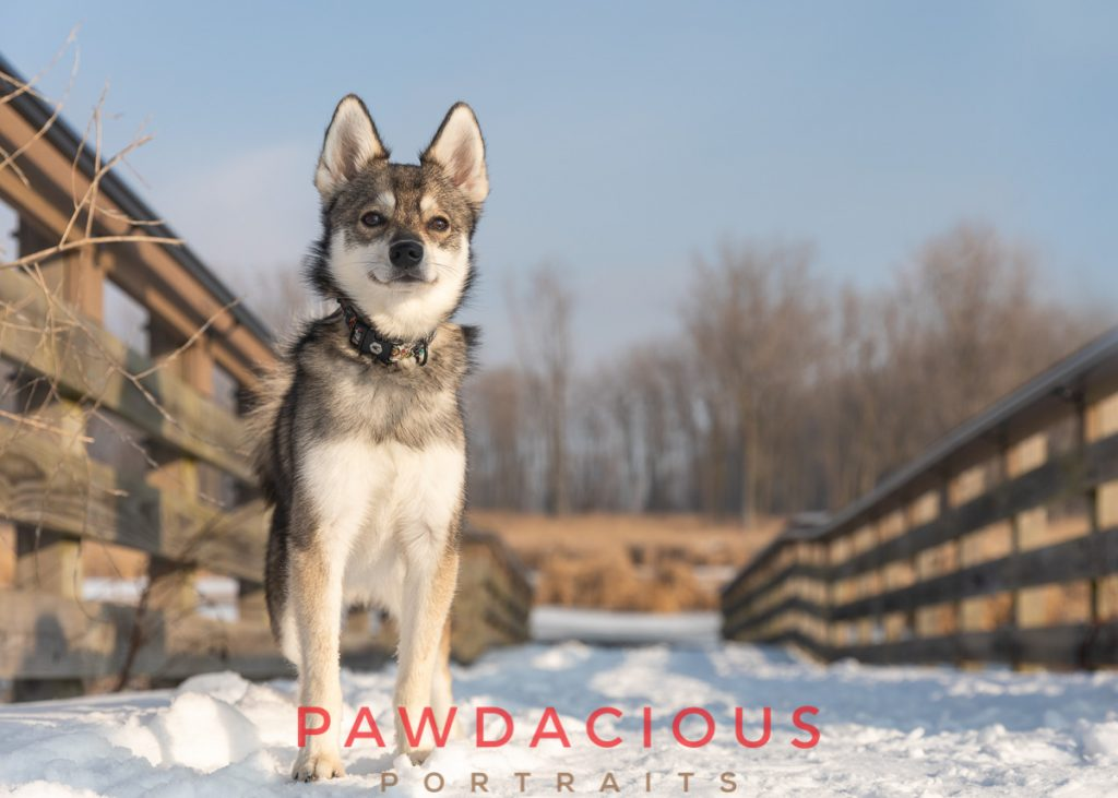 A Klee Kai dog on the bridge in Lake St. Clair metropark in winter