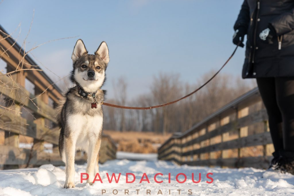 An adorable Klee Kai dog on a snowy bridge in wearing a leash