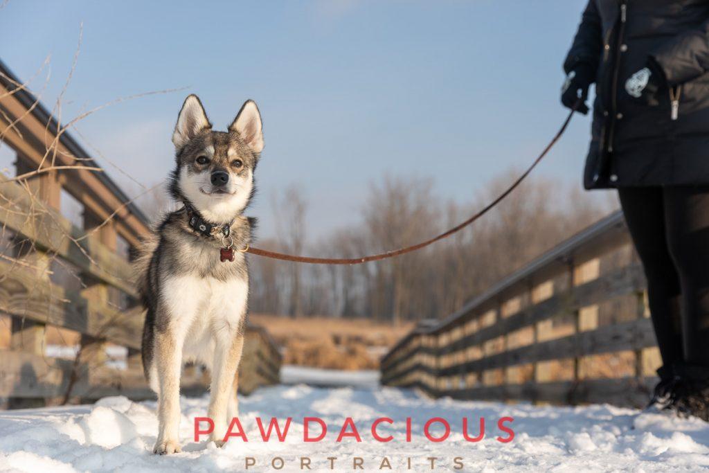 An adorable Klee Kai dog on a snowy bridge in wearing a leash