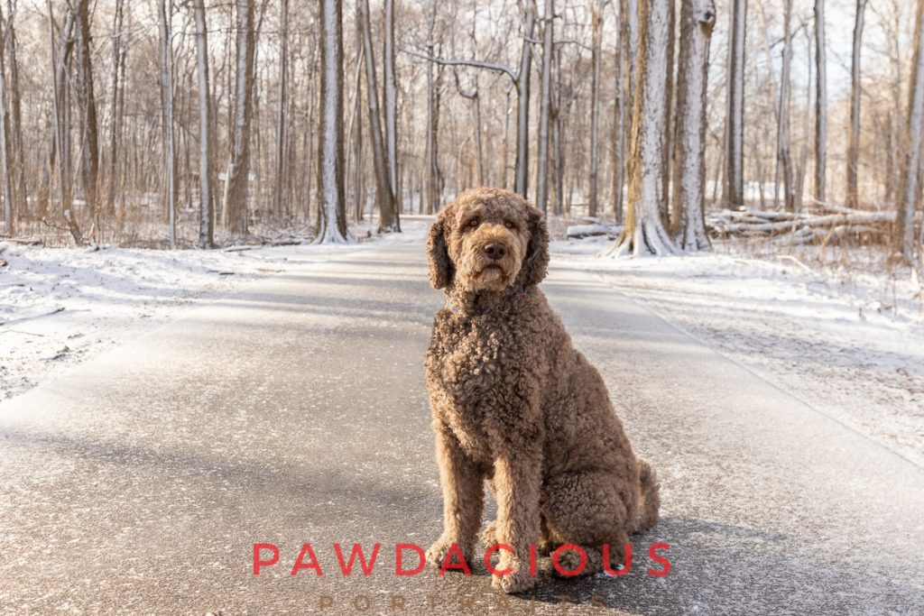A beautiful doodle dog sitting on the path in a snowy forest
