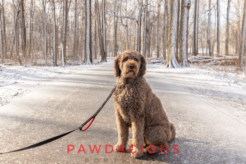 A golden doodle sitting on the path in Maybury State Park in winter