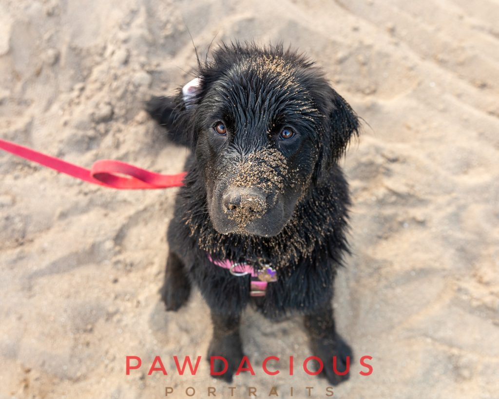A black newfie puppy covered in sand on the beach with a red leash