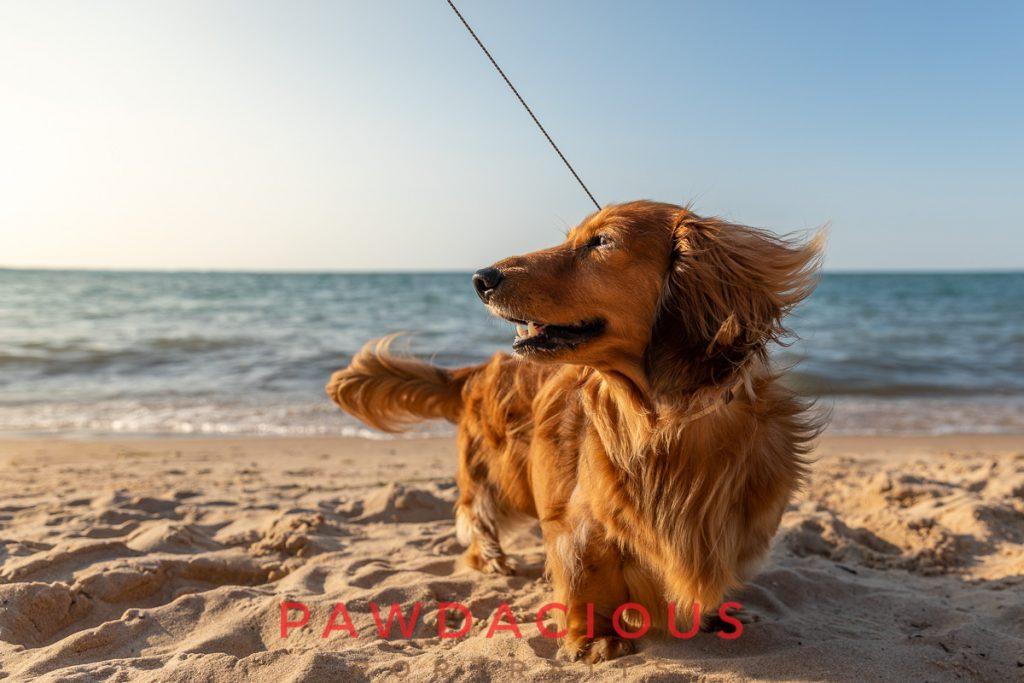 A dachshund dog on the beach of Lake Michigan with a leash