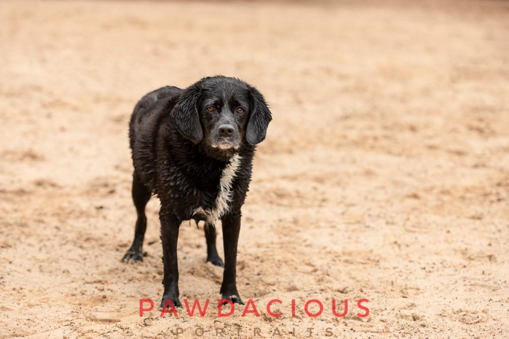 A black dog on a sandy beach in soft natural lighting that shows of the texture of his wet fur.