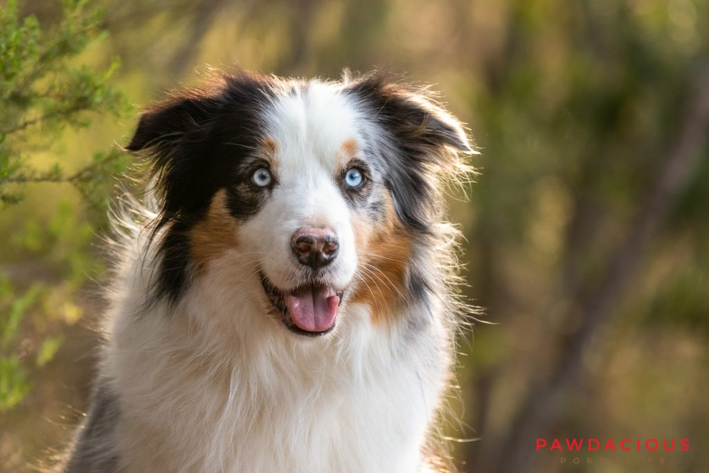 Close up portrait of a backlit multicolored Australian Shepherd with blue eyes