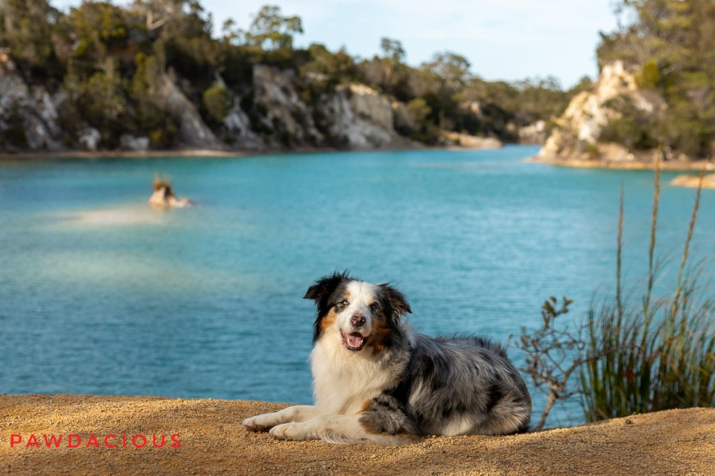 A happy Australian Shepherd dog in front of a bright blue lake in Tasmania, Australia