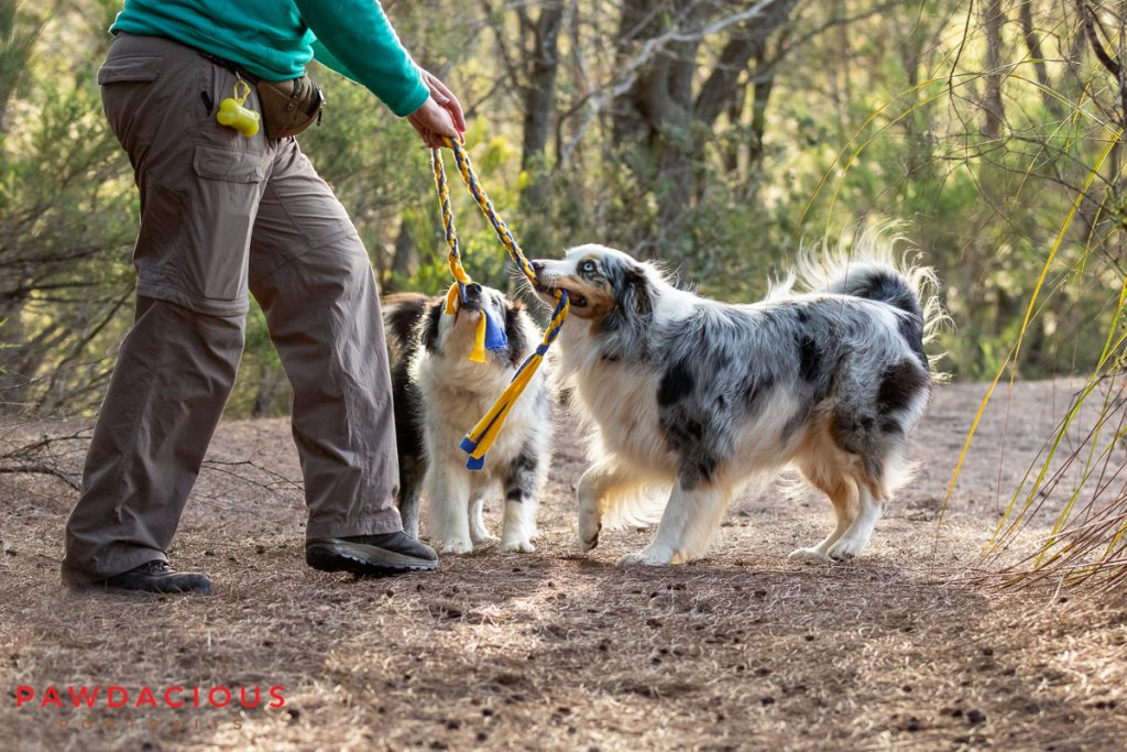 A woman plays tug of war with two australian shepherds in a forest
