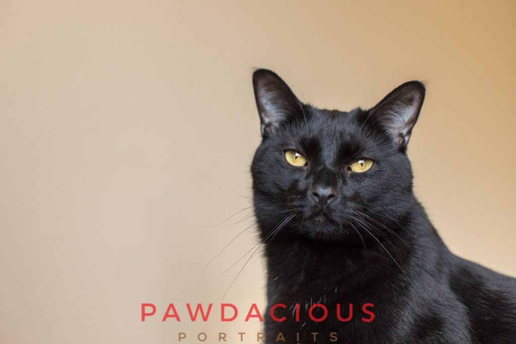 A black cat with golden eyes against a cream backdrop looking at the camera