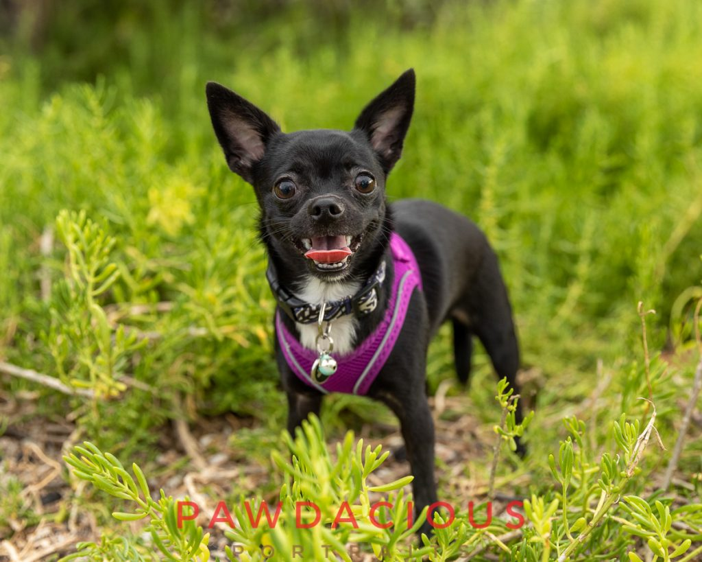 A smiling black chihuahua dog in green foliage wearing a purple harness