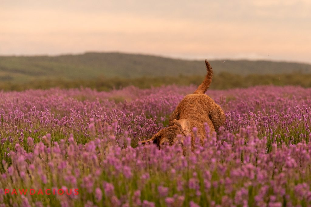 The rear end of a labradoodle mid jump in a field of lavender