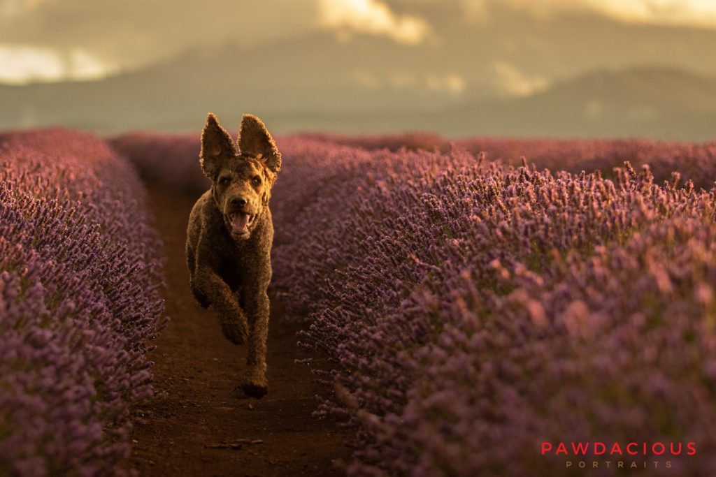 A labradoodle with flopping ears runs toward the camera through a row of lavender plants at sunset
