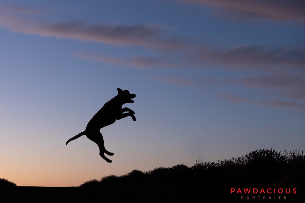 Silhouette of a dog jumping in the air at sunset