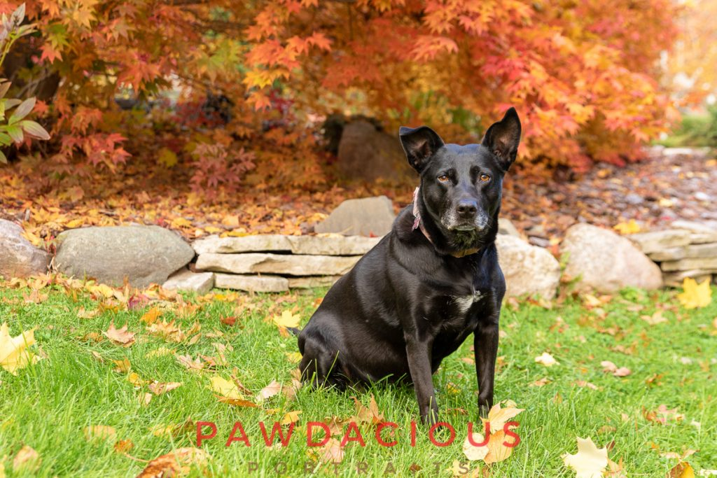 A black lab mix in front of a colorful Japanese Maple in a Northville back yard in fall