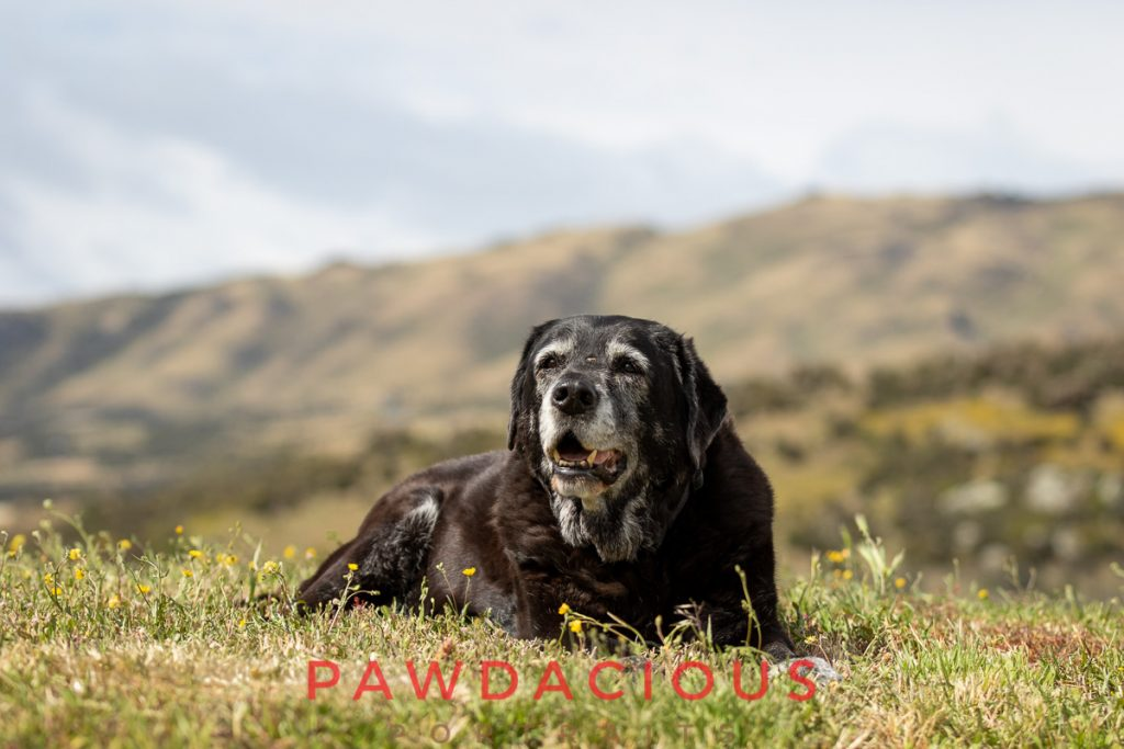 A senior black lab with a gray face enjoys the sunshine in a grassy lawn