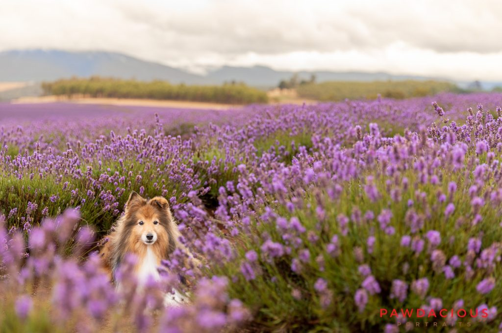 A sheltie dog peers between lavender plants in a field of lavender in Tasmania, Australia