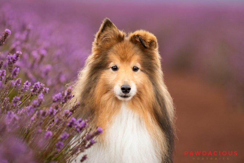 Close up of a small shetland sheepdog sitting next to a row of lavender flowers
