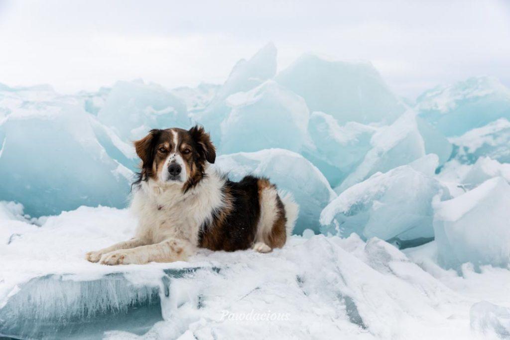 A shepherd dog lies down on the blue ice near Mackinaw City