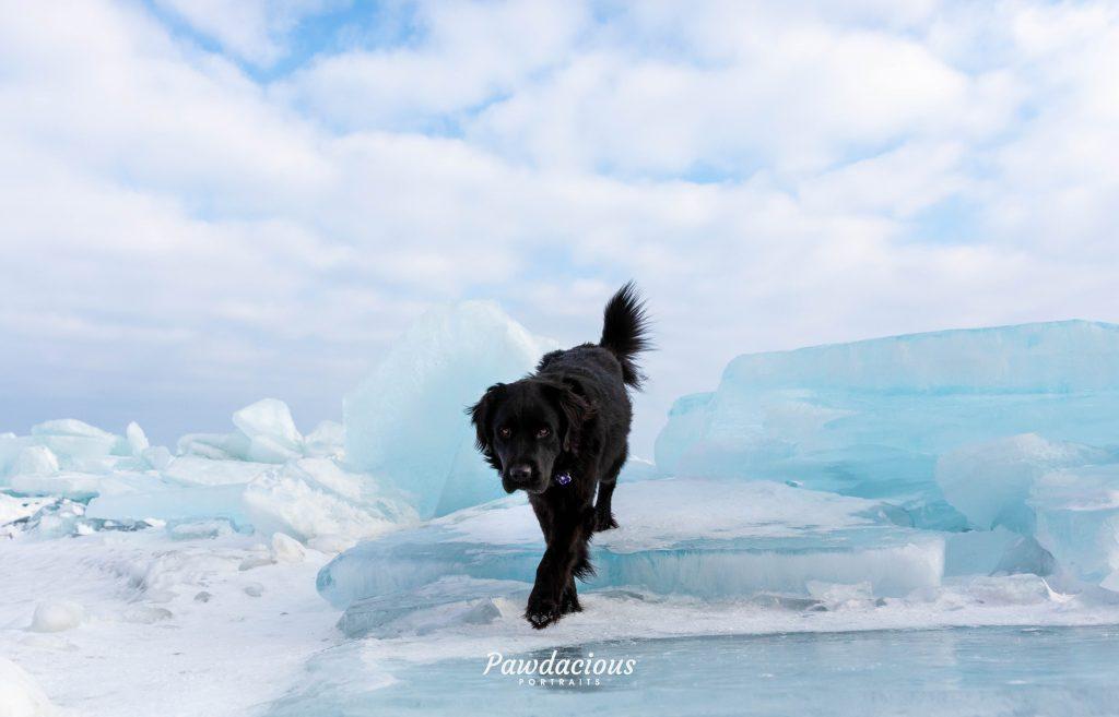 A black newfoundland dog walking on blue ice