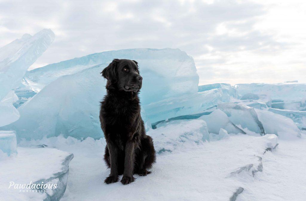 A black newfoundland dog poses on the blue ice near the Mackinac Bridge, Michigan