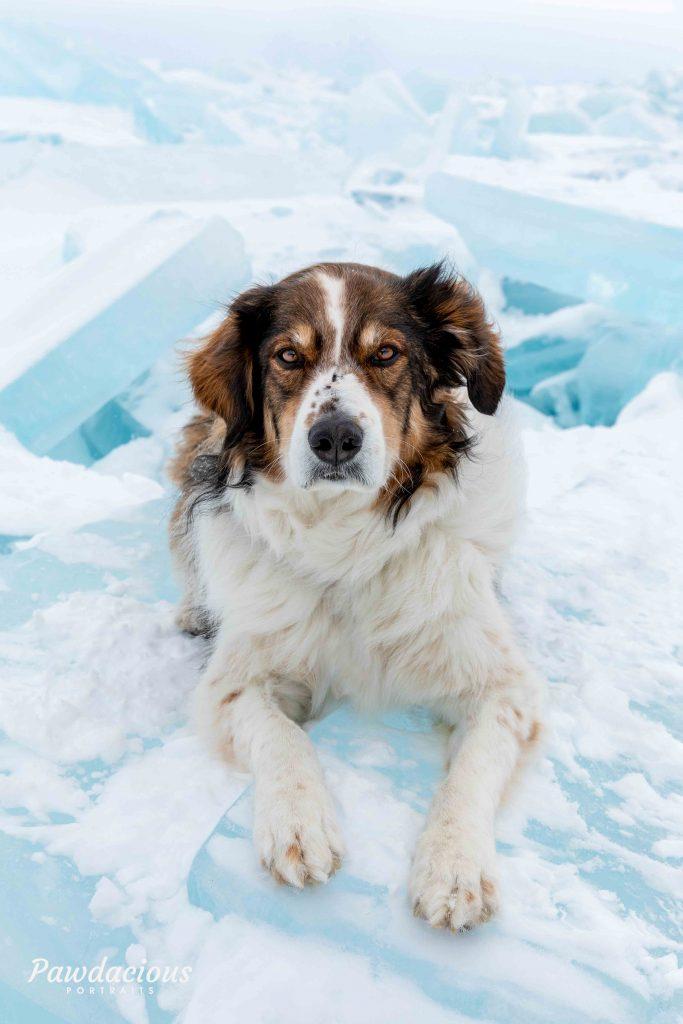 An English shepherd posing on the blue ice of Mackinaw City