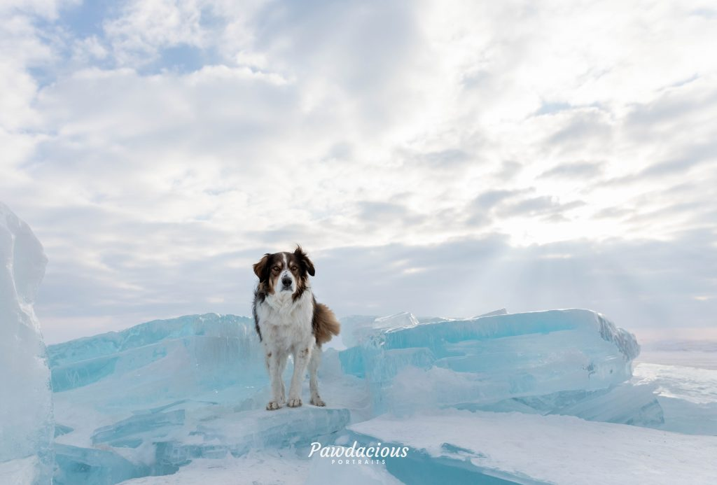 An english shepherd dog standing on blocks of blue ice