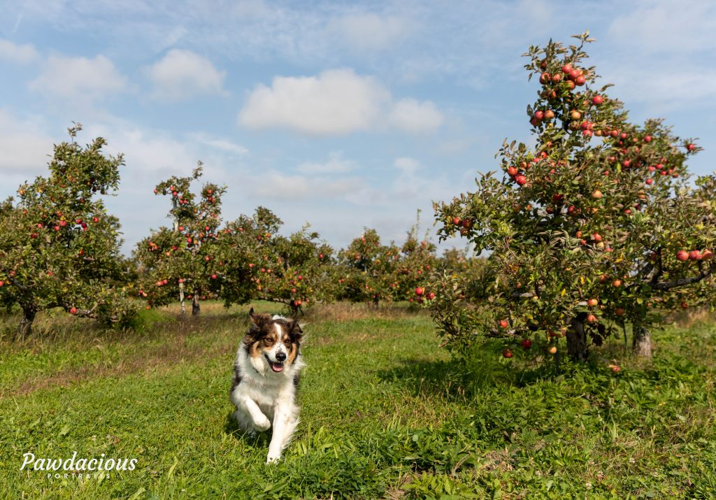 dog running through an apple orchard in fall