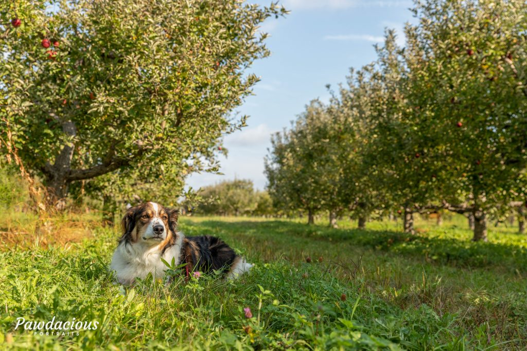 A dog lying down in an apple orchard